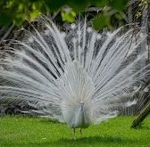 pavo real blanco